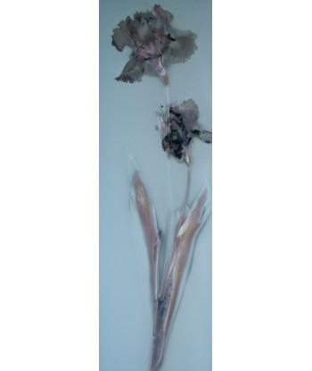 Iris fiorentina _1