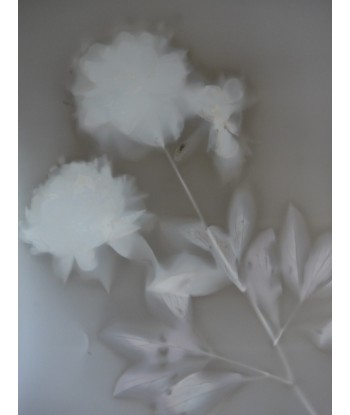 Peonia lactiflora